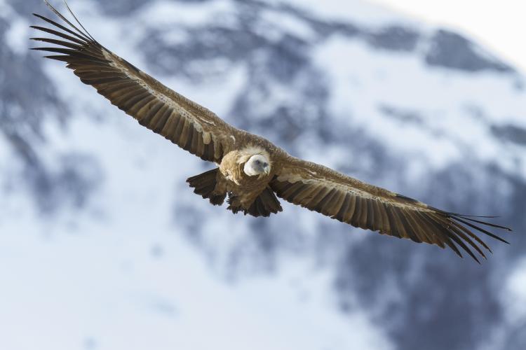 Les vautours Fauves et les vautours Moines du verdon