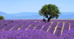 Le verdon et ses merveilleux paysages de lavande